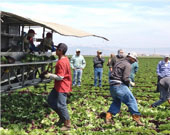 Farm workers gathering produce.