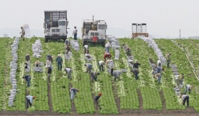 photograph of migrant farm workers working in harvesting crops