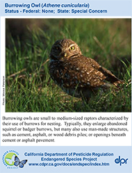 Burrowing Owl identification card