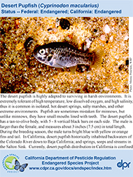 Desert Pupfish identification card