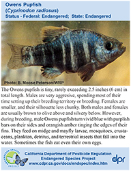 Owens Pupfish identification card