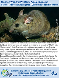Riparian Woodrat identification card