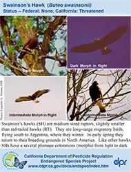 Swainson's Hawk identification card