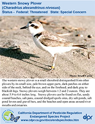 Western Snowy Plover identification card