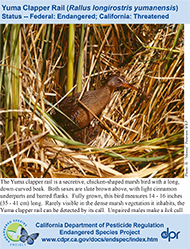 Yuma Clapper Rail identification card