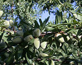 Scientific Methods, Inc. has helped California growers reduce the amount of insecticide used on almonds and other tree crops.